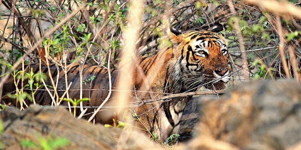 8D7N Rajasthan Wildlife Safari