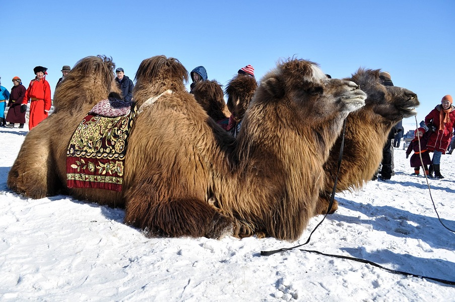 8D7N Golden Eagle & Camel Festival